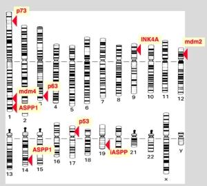 Cromosoma 17
